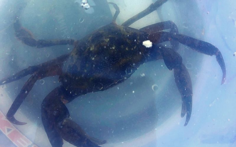 A typical Whitby crab you can catch in the harbour