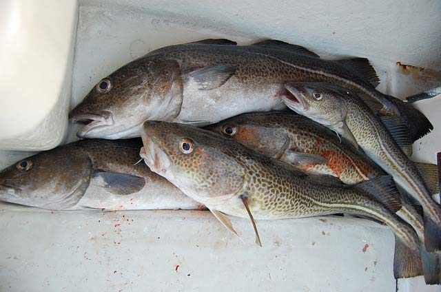 Cod Fishing In Whitby