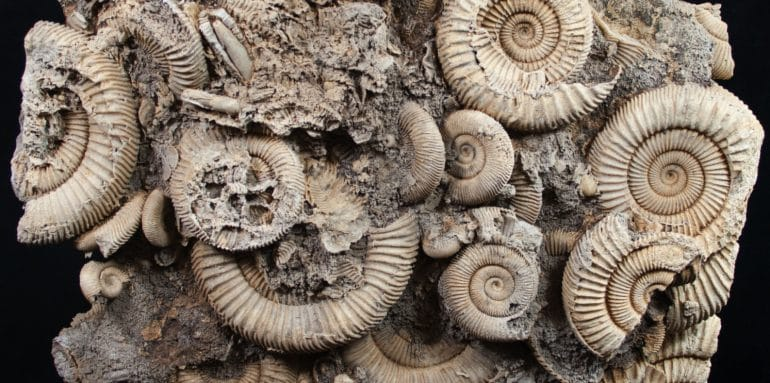 Ammonites Fossil; Whitby Fossils