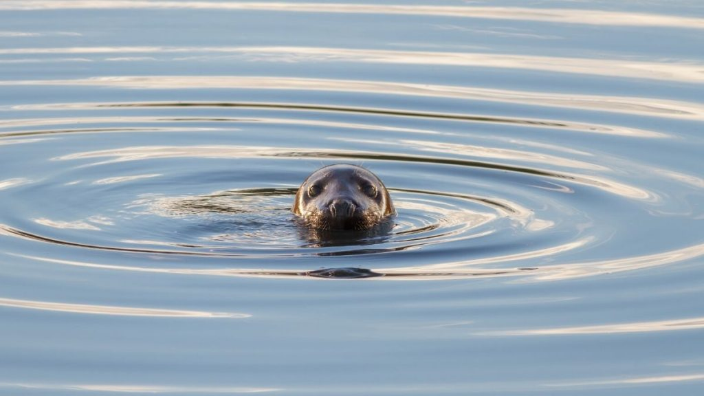 Grey Seals can be spotted regularly around Whitby