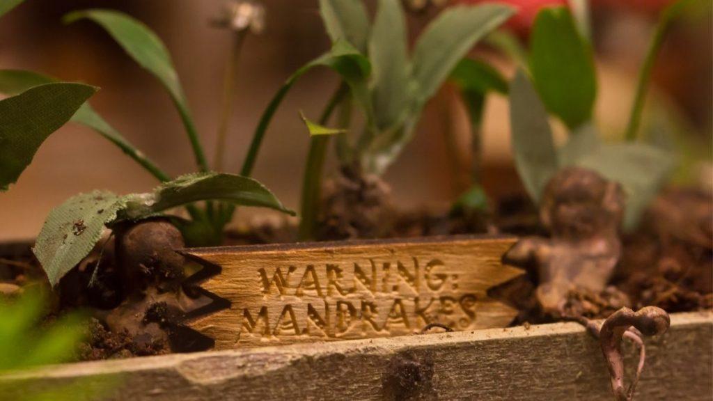 Mandrakes Harry Potter