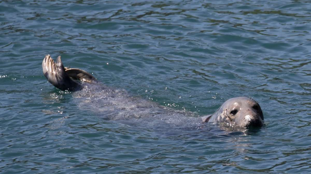 Whitby Grey Seal