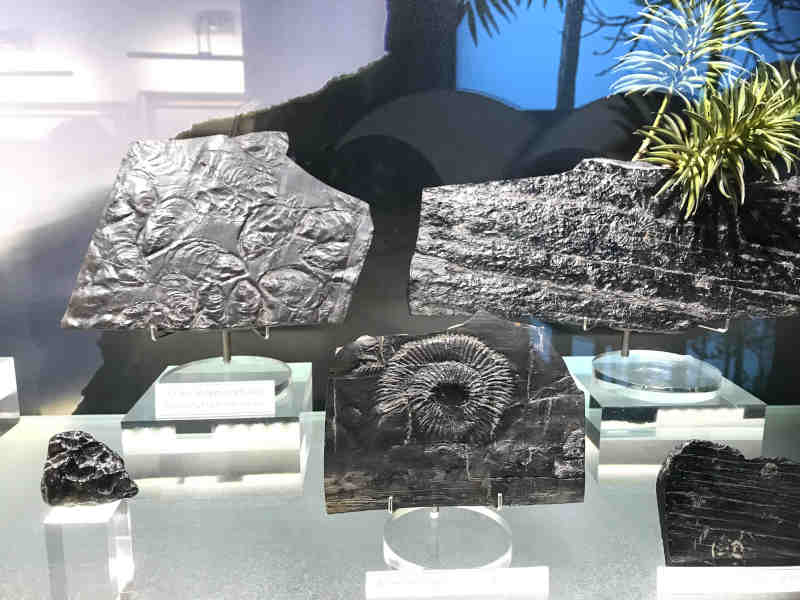 a collection of fossilised jet at w hamond museum of whitby jet