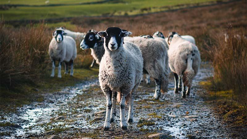 Glaisdale Sheep