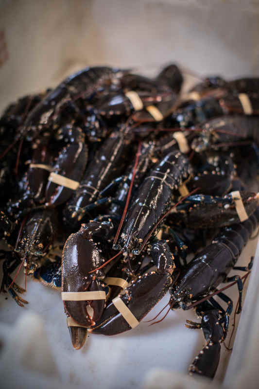 Fully grown Whitby lobster
