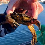 Whitby Crabbing